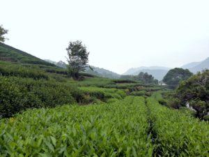 Hangzhou_Teeplantage