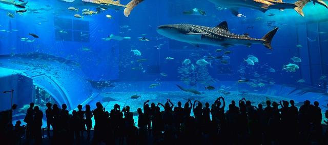 whale shark okinawa